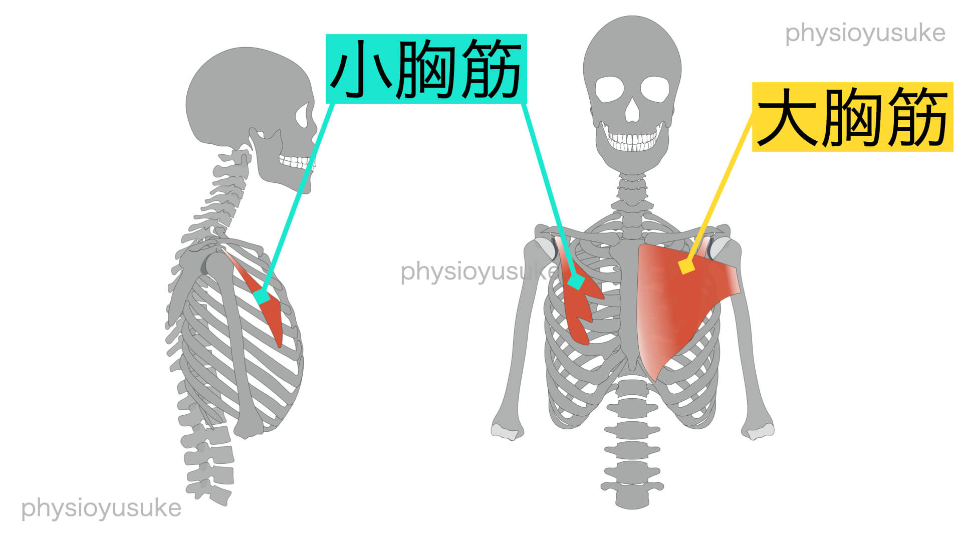 巻き肩、小胸筋、大胸筋
