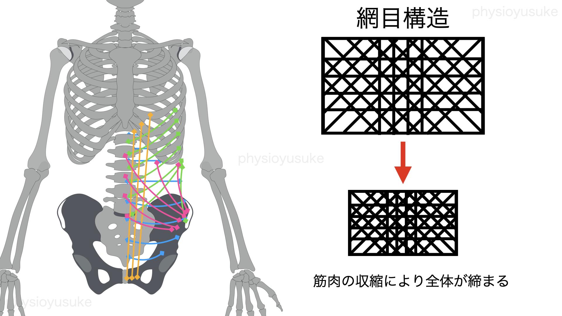 腹圧、網目構造