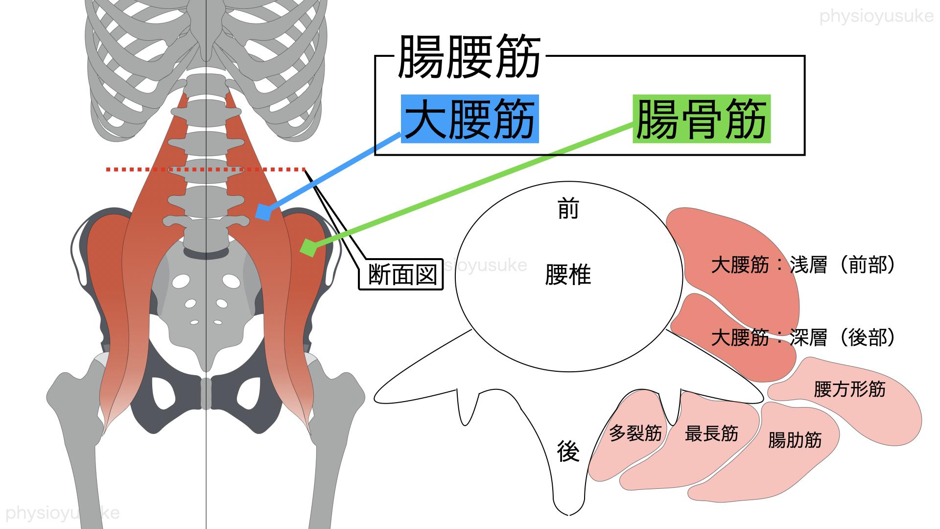 腸腰筋、腸骨筋、大腰筋、解剖学