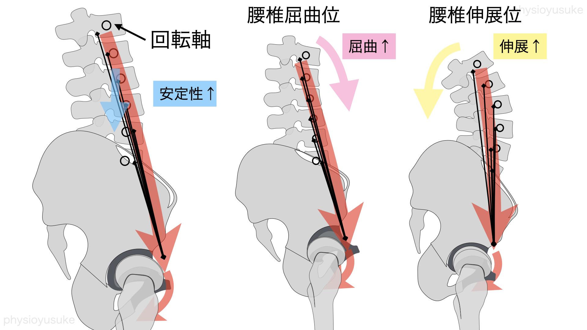 腸腰筋、走行、屈曲と伸展