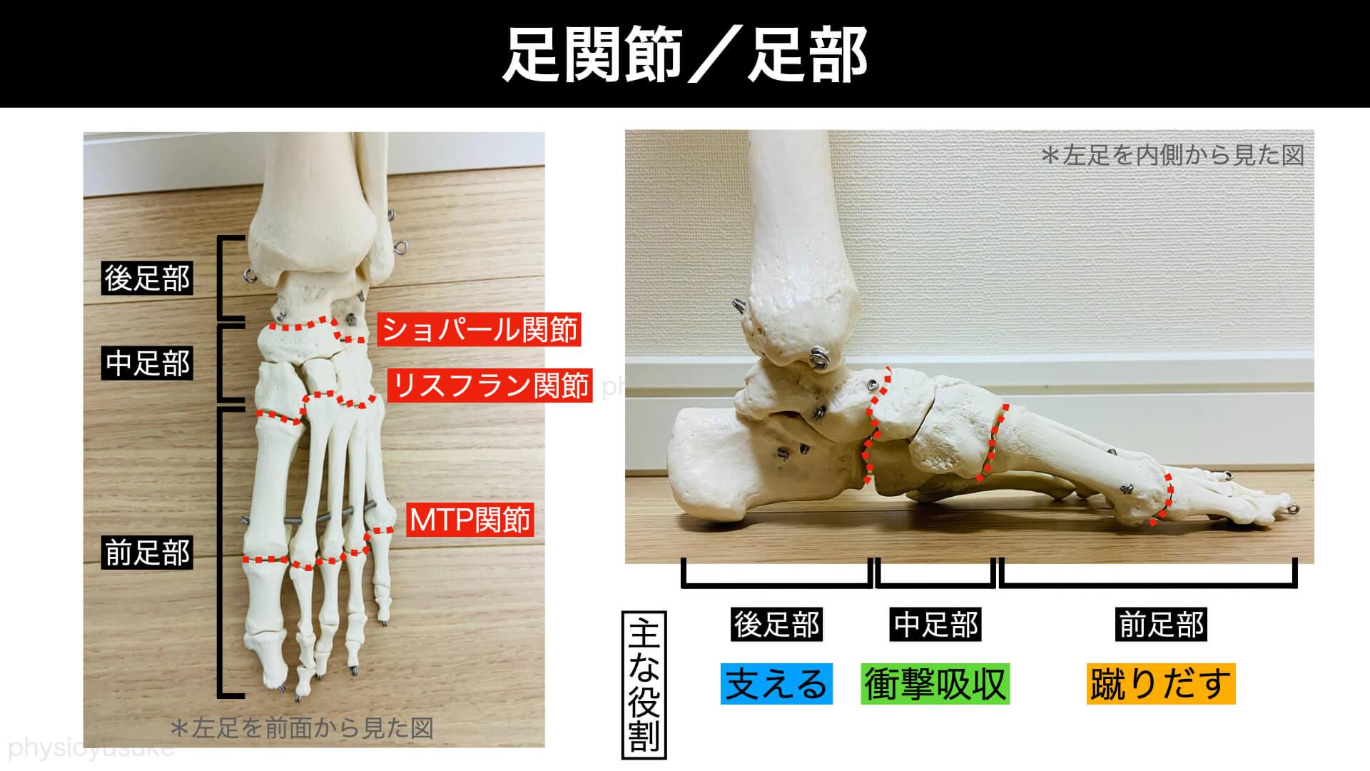 足部/足関節の解剖