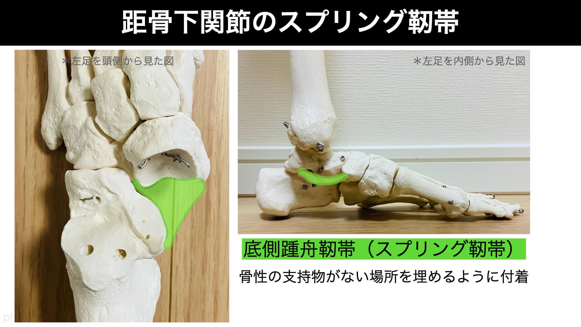 底側踵舟靭帯、スプリング靭帯