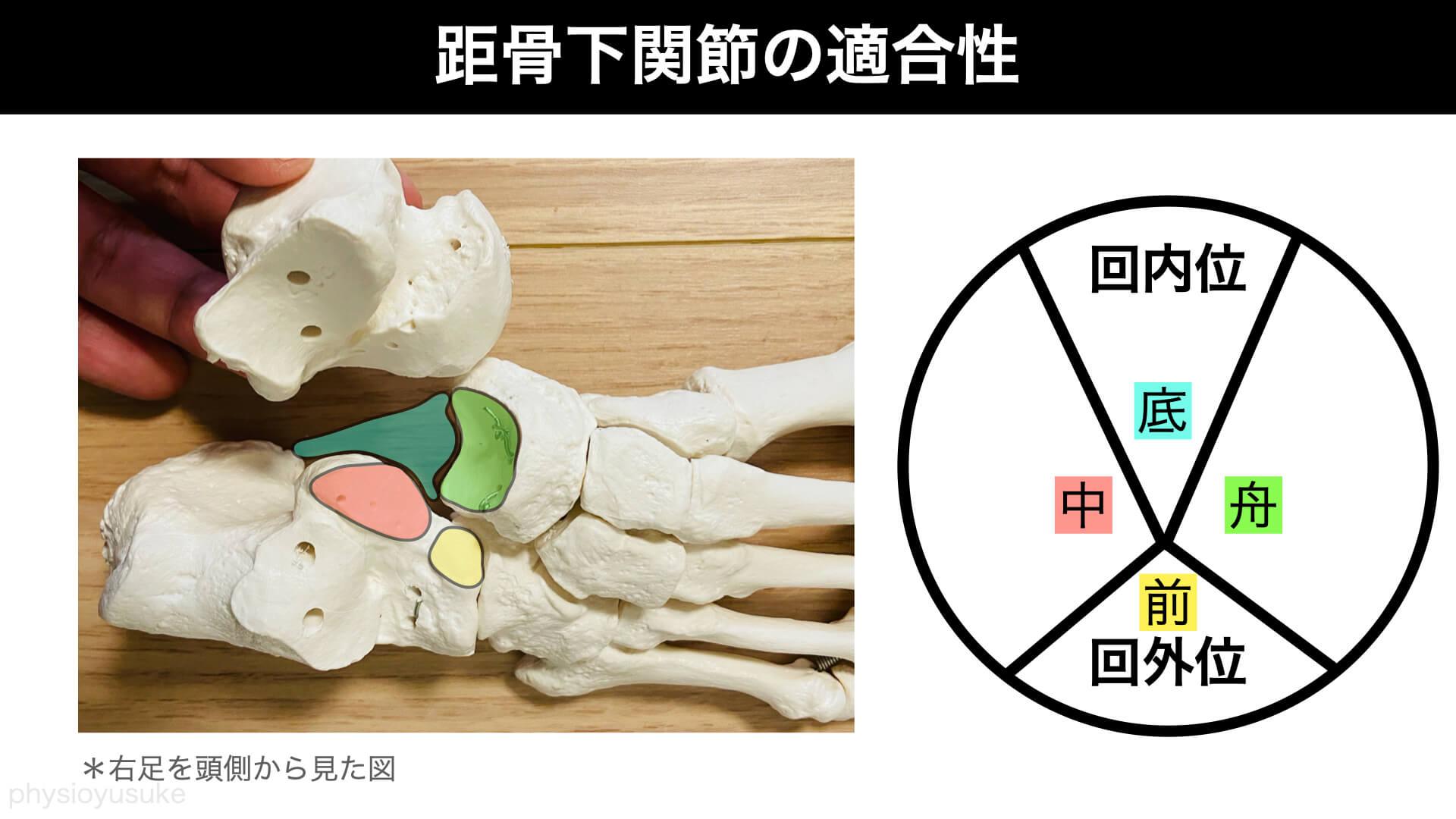距骨下関節、スプリング靭帯